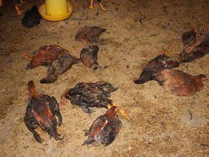 Nằm mơ thấy gà chết có điềm báo gì và đánh con số nào?