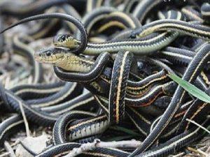 Nằm mơ thấy nhiều rắn có điềm báo gì và đánh con số nào?