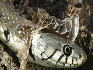 Mơ thấy rắn lột xác đánh con gì? điềm báo tốt hay xấu?