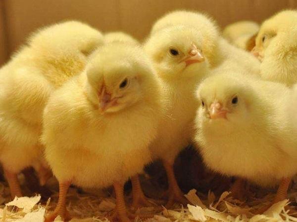 Mơ thấy gà con có điềm báo gì và đánh con gì trúng?