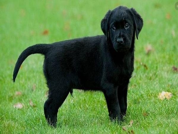 Mơ thấy con chó đen điềm gì và đánh con số nào trúng?