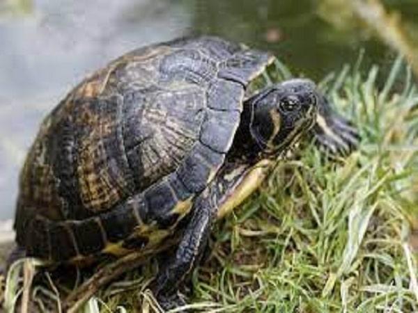 Mơ thấy con rùa đánh con gì và điềm tốt hay xấu?